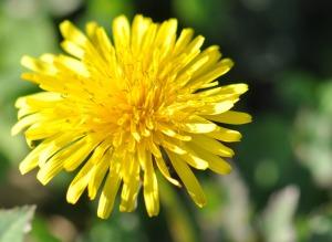 dandelion-herbs-flower