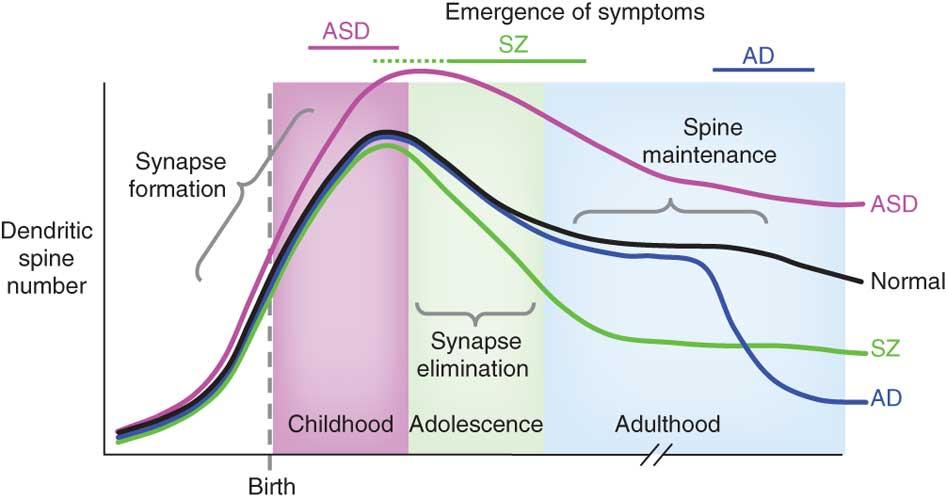 autism dendritic spine