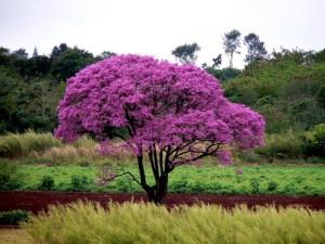 Čaj se připravuje z vnitřní kůry stromu lapacho.